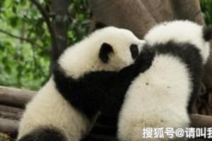 大熊猫因打架骨折被脱毛裤后的它笑翻众人果然它是有尾巴的