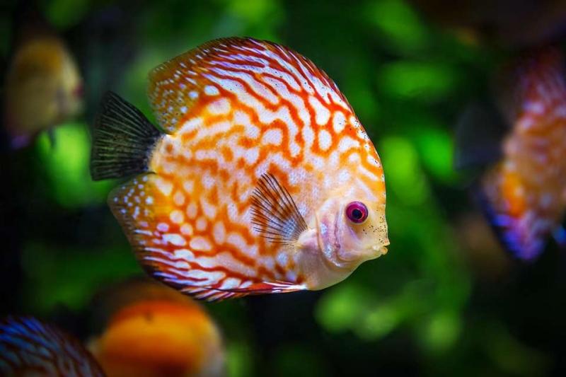 白练鱼胆固醇高吗白鲢鱼的营养价值有哪些